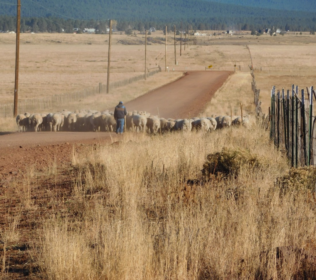 bj Manterola sheep herder moving sheep