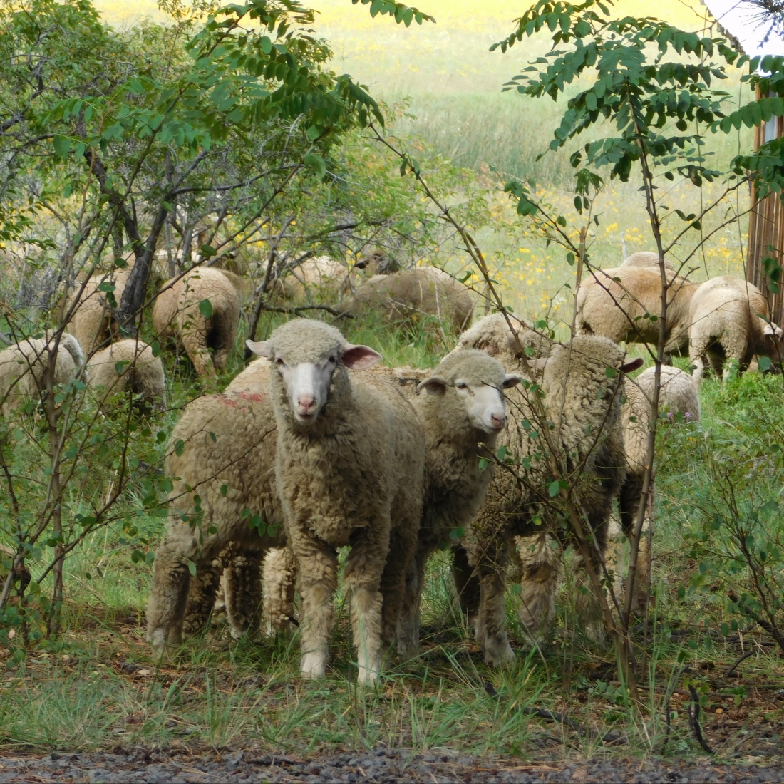 cropped-bj-sheep-on-manterolas-ranch