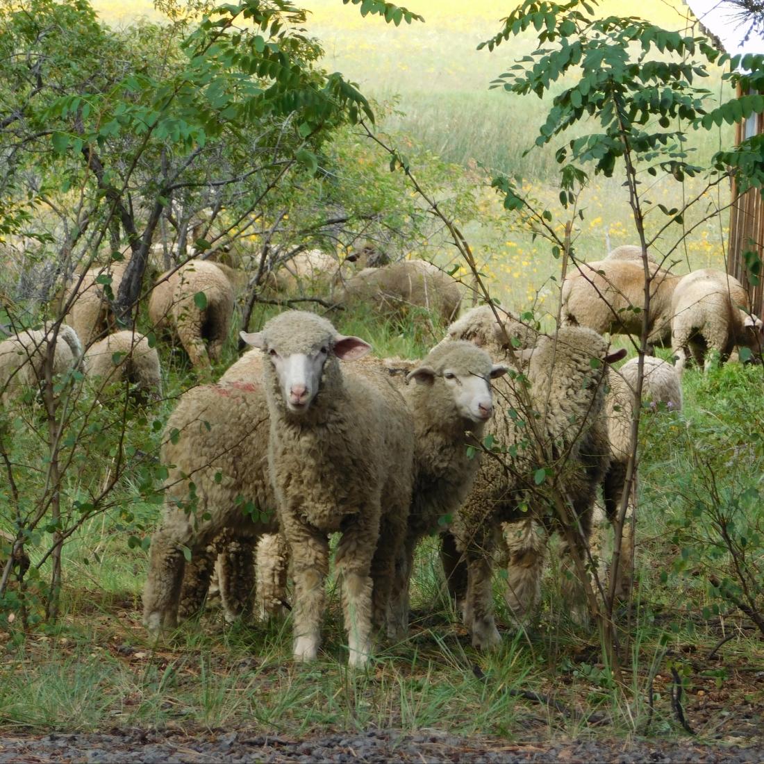 cropped-bj-sheep-on-manterolas-ranch